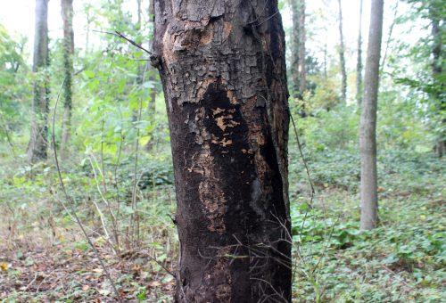 Rußrindenkrankheit – Alle Infos für Privatbaumbesitzer