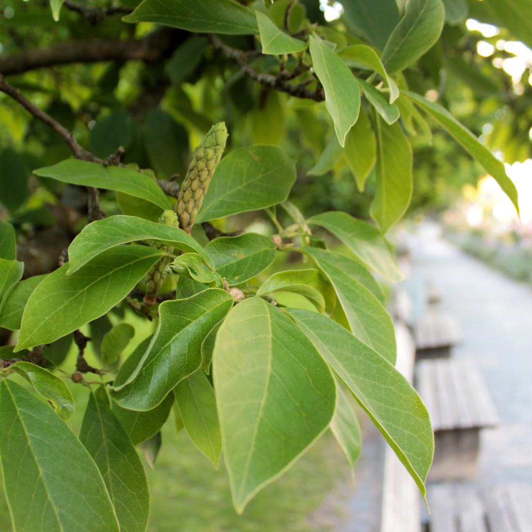 Baumschutzsatzung zur Sicherung von Stadtbäumen